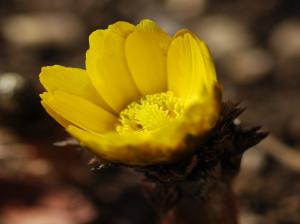 春一番の福寿草
