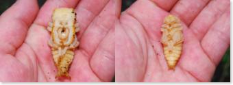 ミヤマクワガタの蛹
