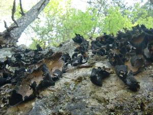 岩茸の群れ