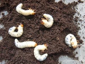 ミヤマクワガタの幼虫たち