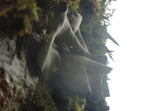 雨に濡れた岩茸