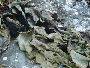 大きな岩茸
