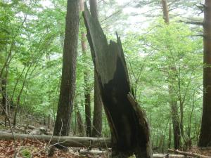 雷が落ちた木