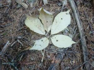 コシアブラの葉