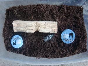 ミヤマクワガタの産卵セット