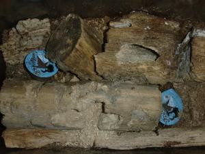 オオクワガタの産卵木