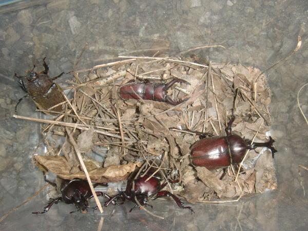 カブトムシとノコギリクワガタ