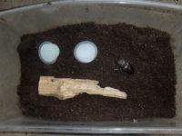 ミヤマクワガタ産卵セット