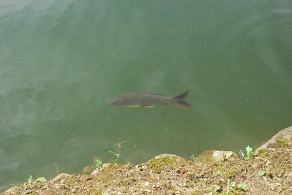 弁天池の鯉