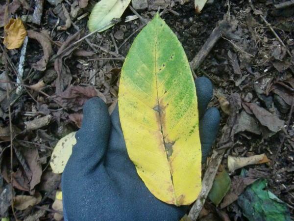 クルミの葉