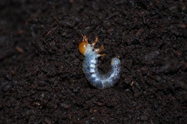 ミヤマクワガタの幼虫