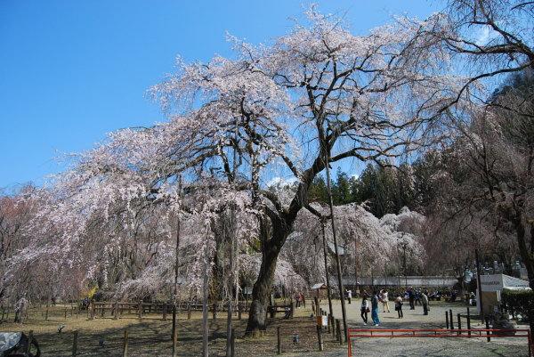 清雲寺しだれ桜