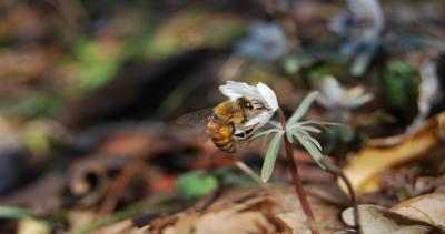 節分草に集まるミツバチ