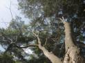 コシアブラの木