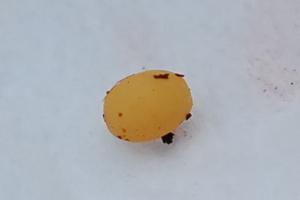 ミヤマクワガタの卵