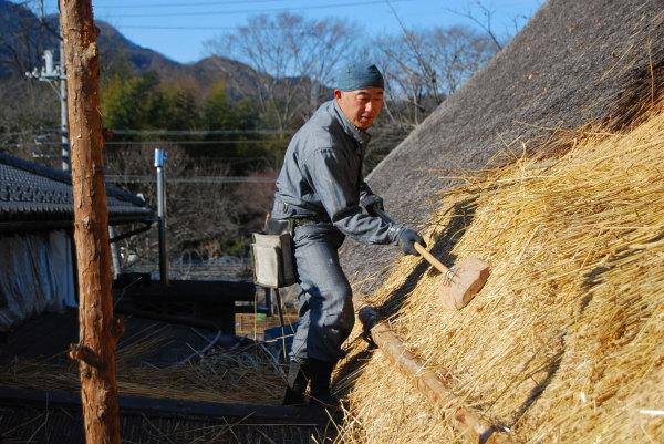 茅葺き屋根に小麦を葺く