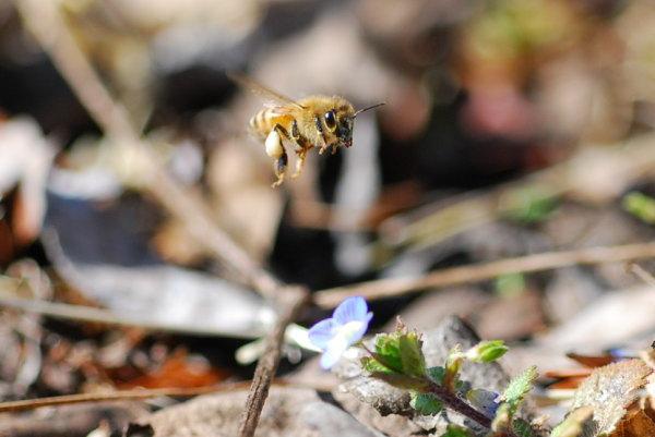 節分草にいたミツバチ