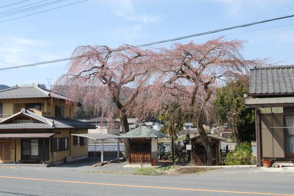 即道神社の桜