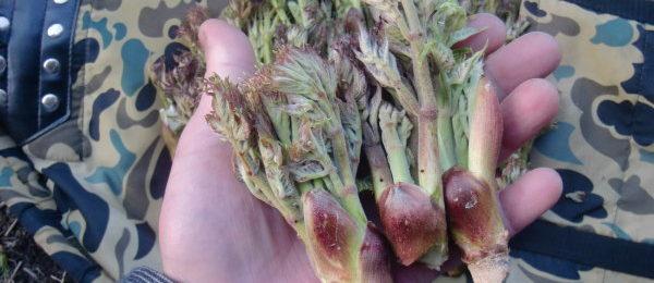 タラの芽採り
