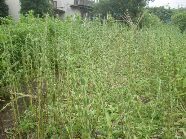 ゴマの収穫