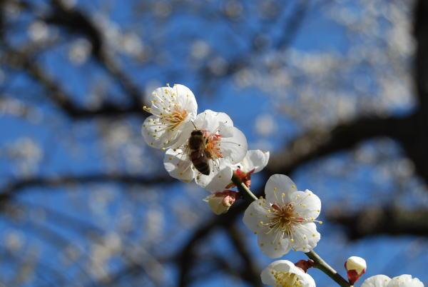 梅の花にくるミツバチ