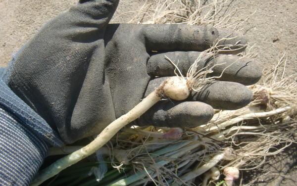 山菜 ノビル採り