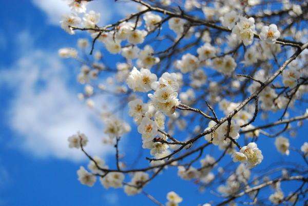 梅の花 満開