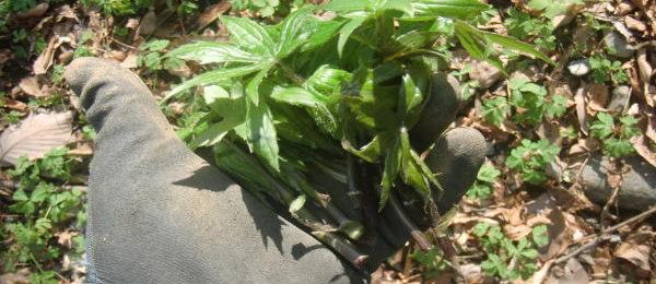 山菜 モミジガサ