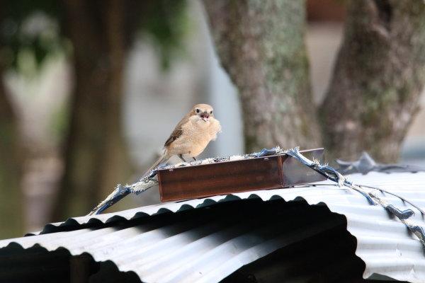 野鳥 モズ