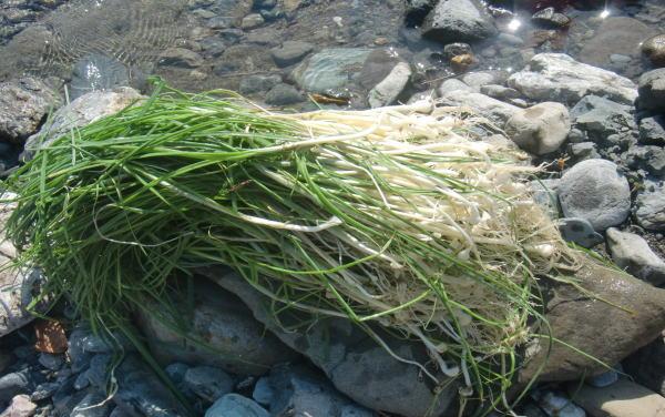 山菜 ノビル