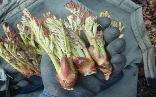 山菜採り タラの芽