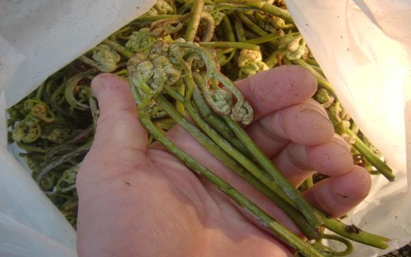 山菜 ワラビ採り