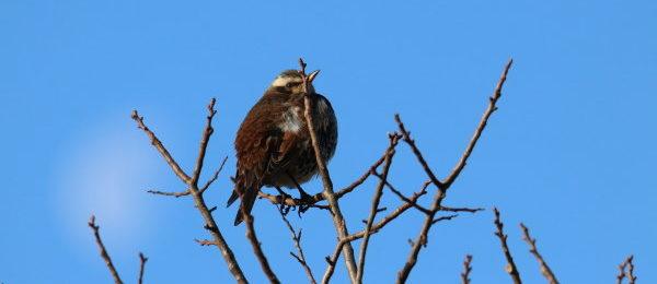 野鳥 ツグミ