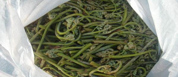 山菜採り ワラビ