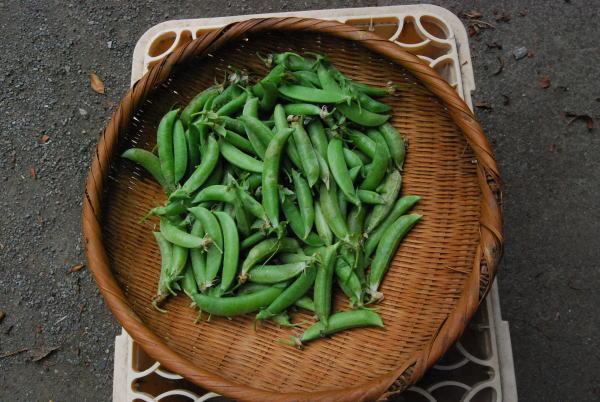 スナックエンドウ収穫