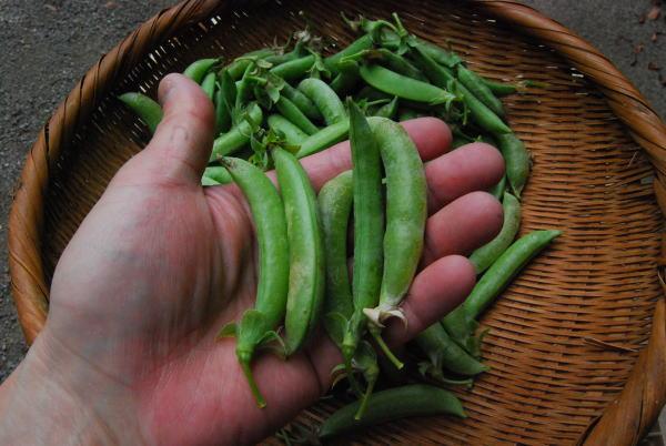 スナックエンドウの収穫