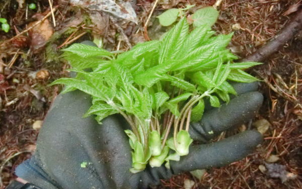 山菜採り コシアブラ