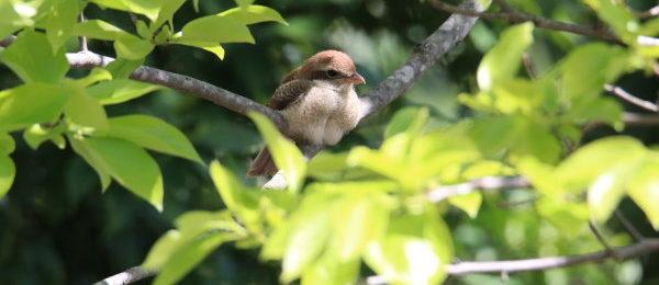 野鳥 モズの赤ちゃん