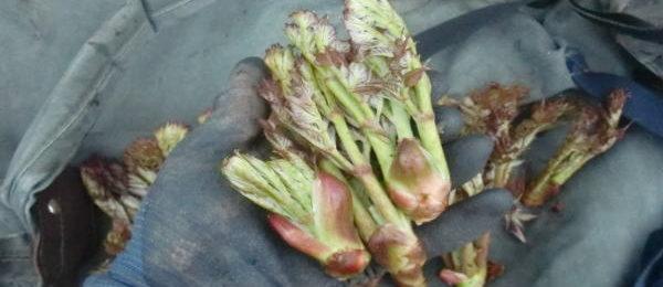 山菜 タラの芽採り