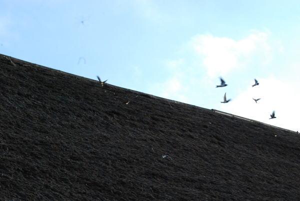 ツバメの群れ