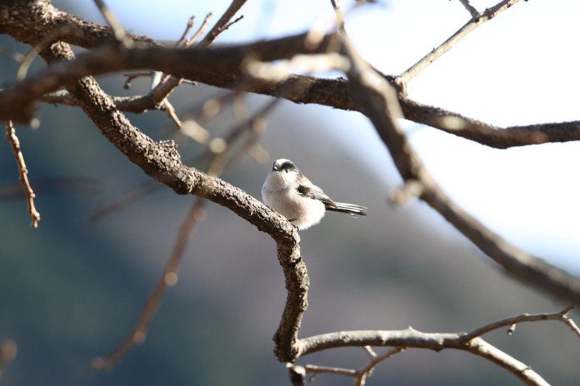野鳥 エナガ