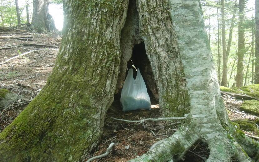 コシアブラの袋