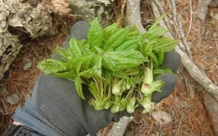 コシアブラ 山菜